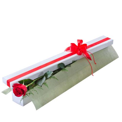 Single red rose in presentation box