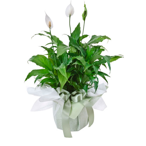 Large plant presenation