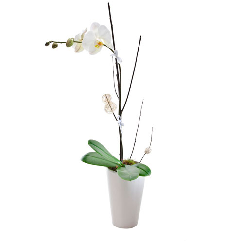 Orchid in ceramic planter
