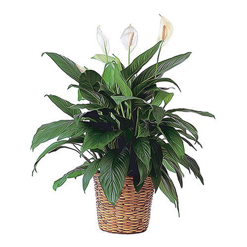 Large green plant in basket