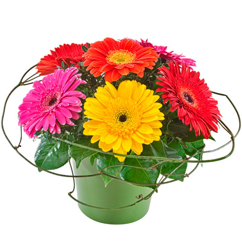 Gerberas in ceramic container